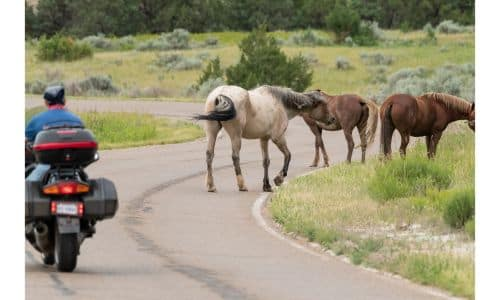 A few horses standing by the side of a country road near the grass as a motorcycle driver approaches