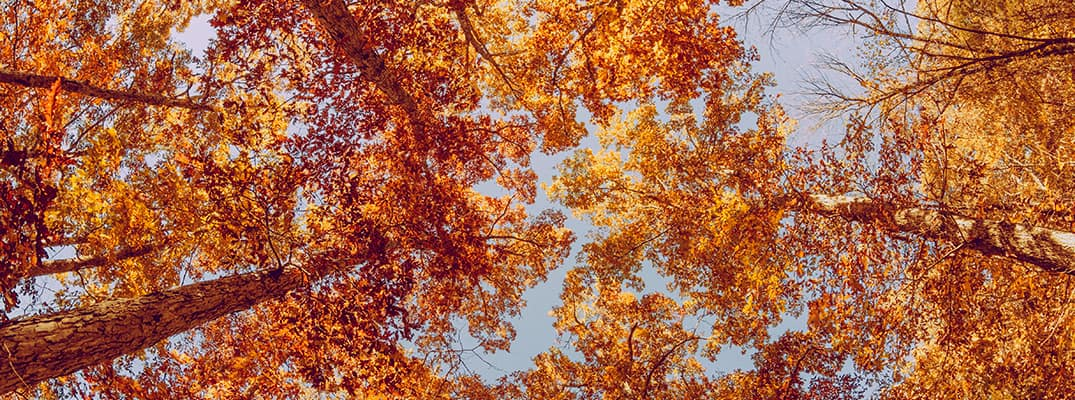 View of colorful trees as seen from the ground