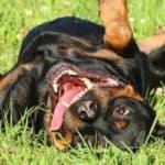 Happy Rottweiler dog resting on green grass. Outdoor shoot