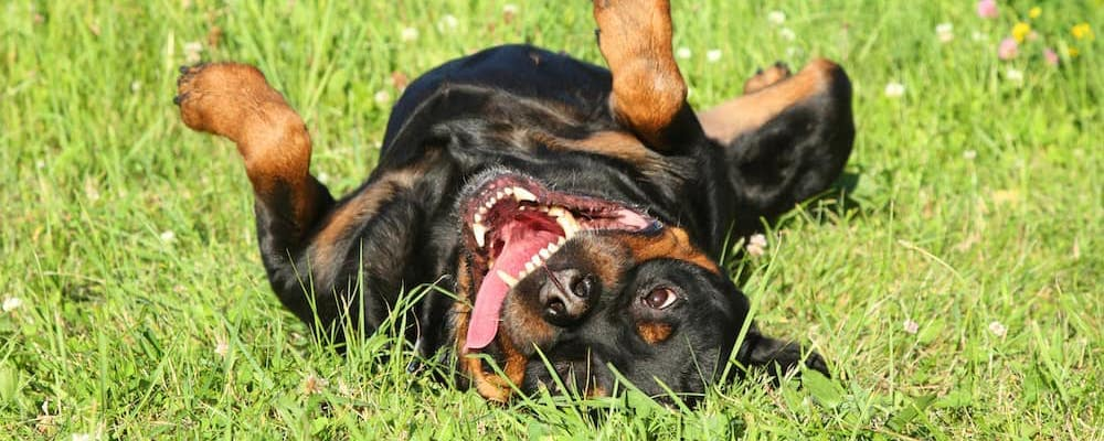 Happy dog rolling in grass with big smile on back